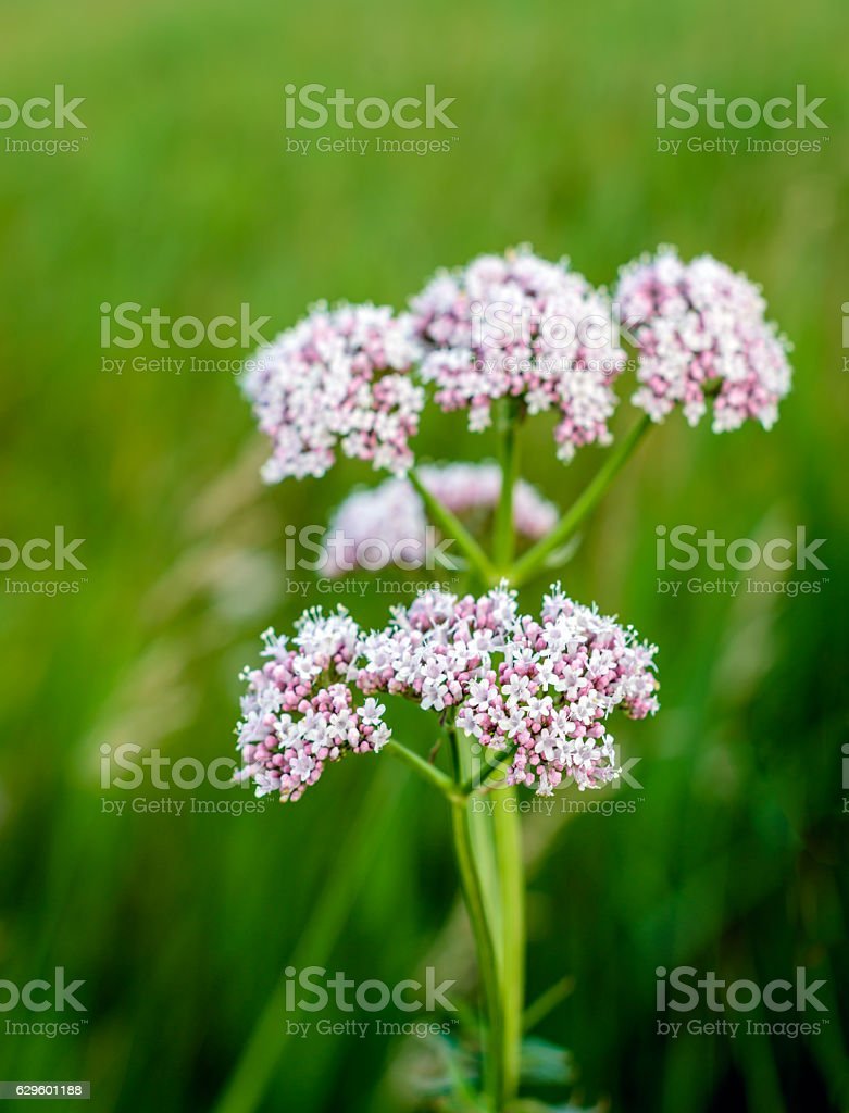 Soft pink blooming valerian plant from close stock photo