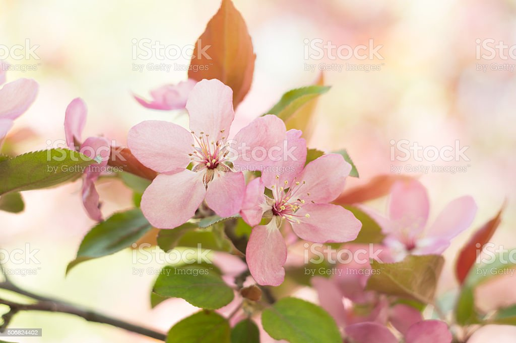 Soft pink crab apple blossoms on tree with defocussed background. stock photo