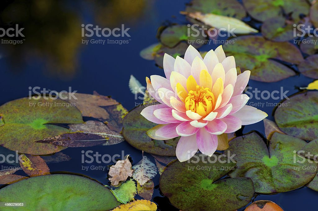soft pink lotus flower over water stock photo