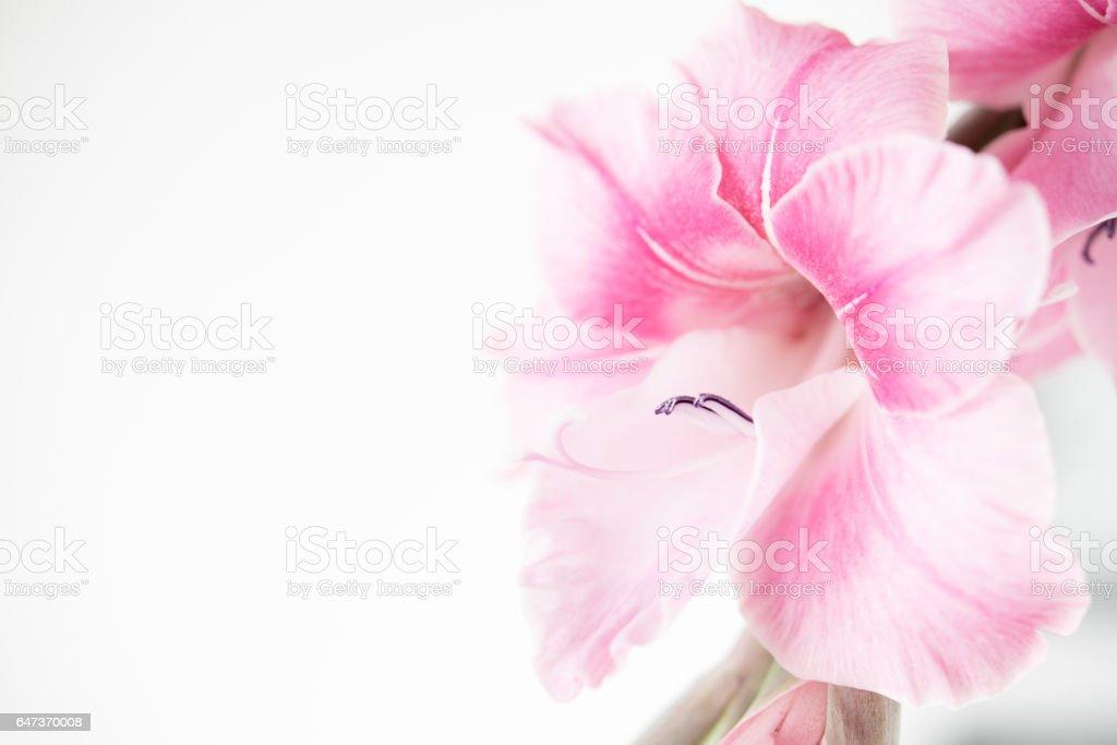 Soft Pink stock photo