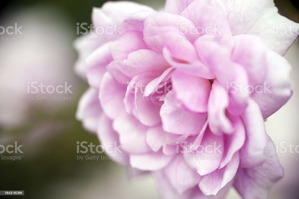 Soft Pink Rose royalty-free stock photo