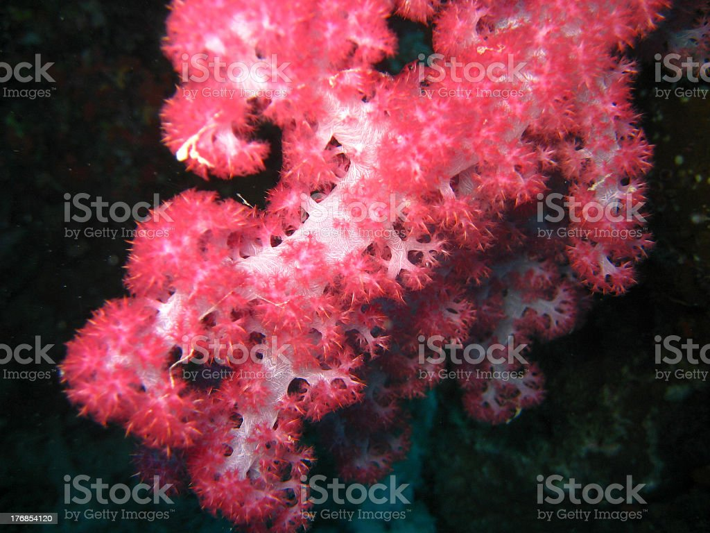 Soft purple coral polyps feeding in current stock photo
