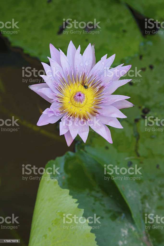 soft  Purple lotus flower and bee in pond royalty-free stock photo
