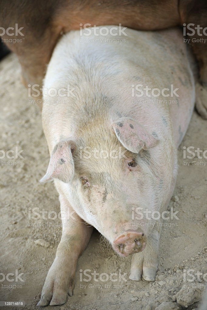 Soft Submissive Pig in the Dirt stock photo
