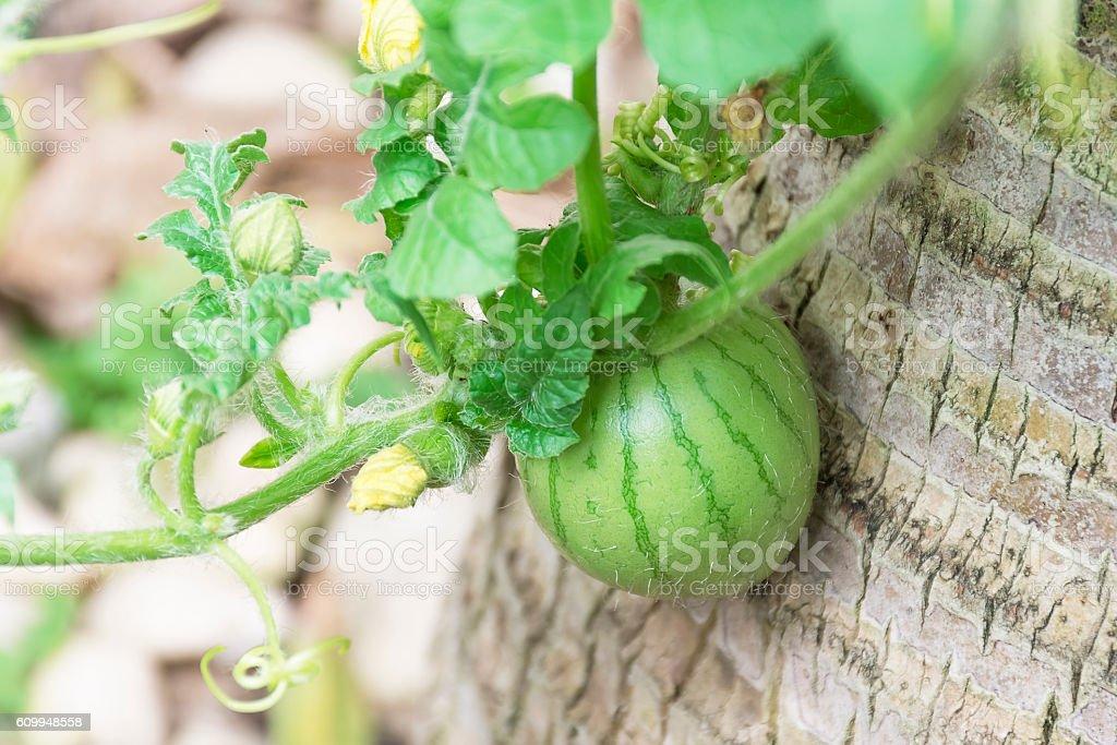 Soft watermelon balls. stock photo