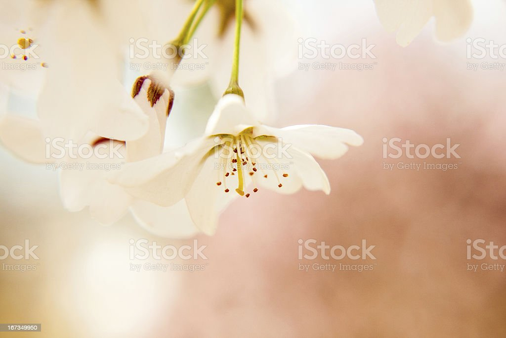 Soft, White Blossoms royalty-free stock photo