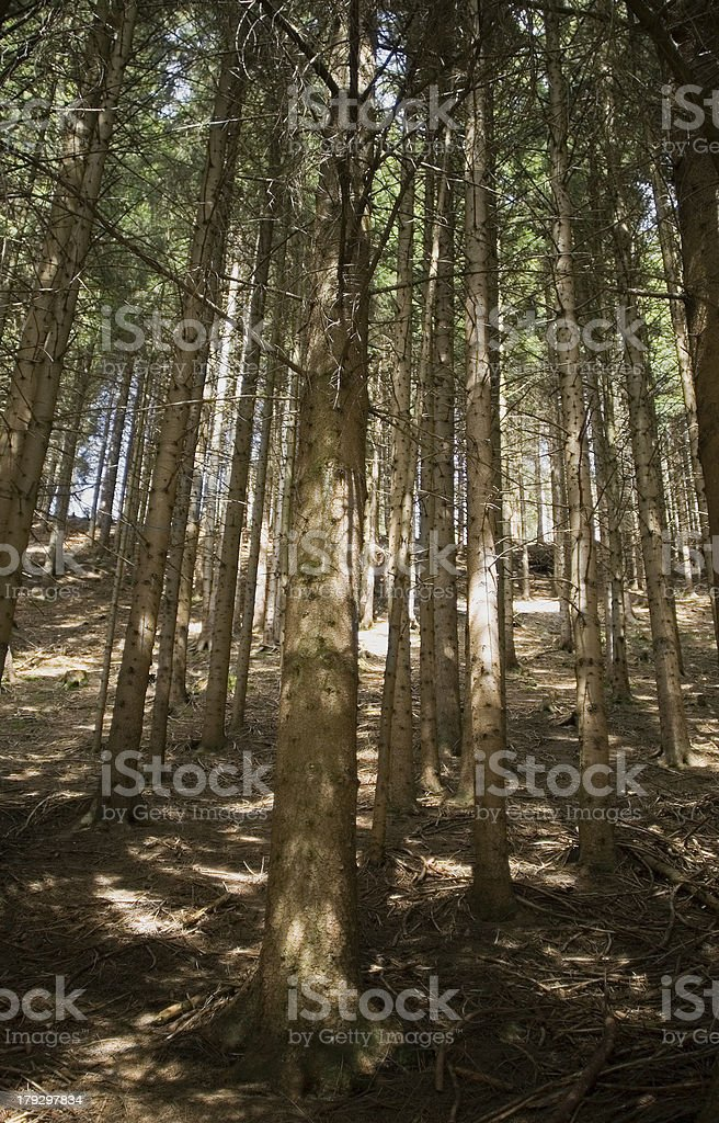 Soft wood of spruces stock photo
