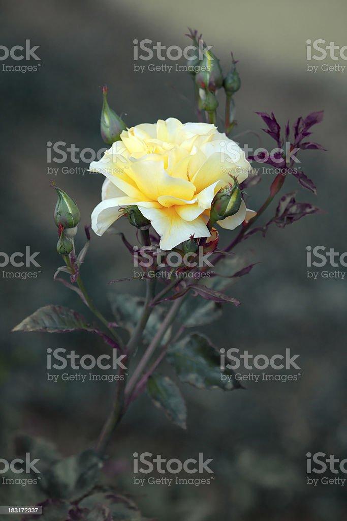 Soft yellow rose. stock photo