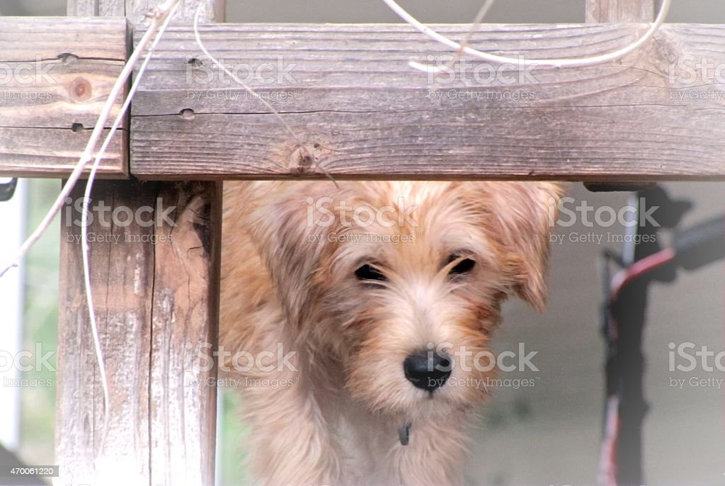 Soft-Coated Wheaten Terrier stock photo