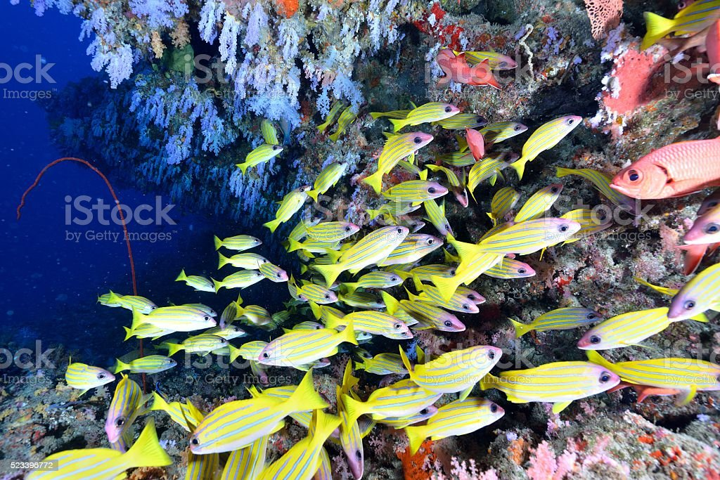 softcoral and blueline snappers stock photo