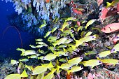 softcoral and blueline snappers