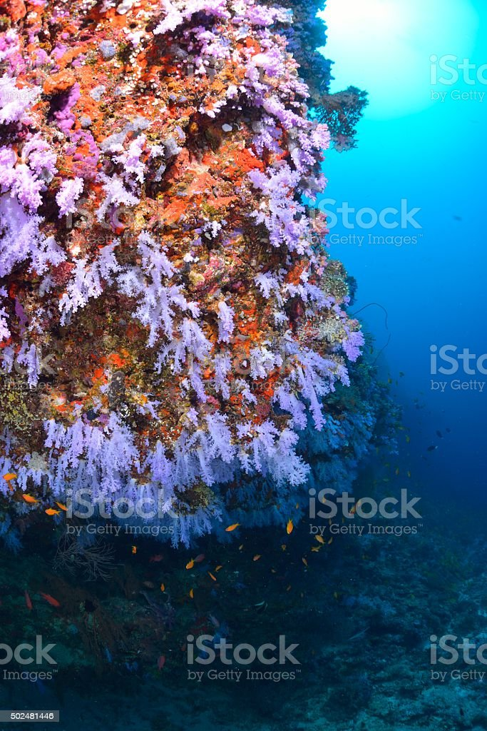 softcoral foto de stock royalty-free