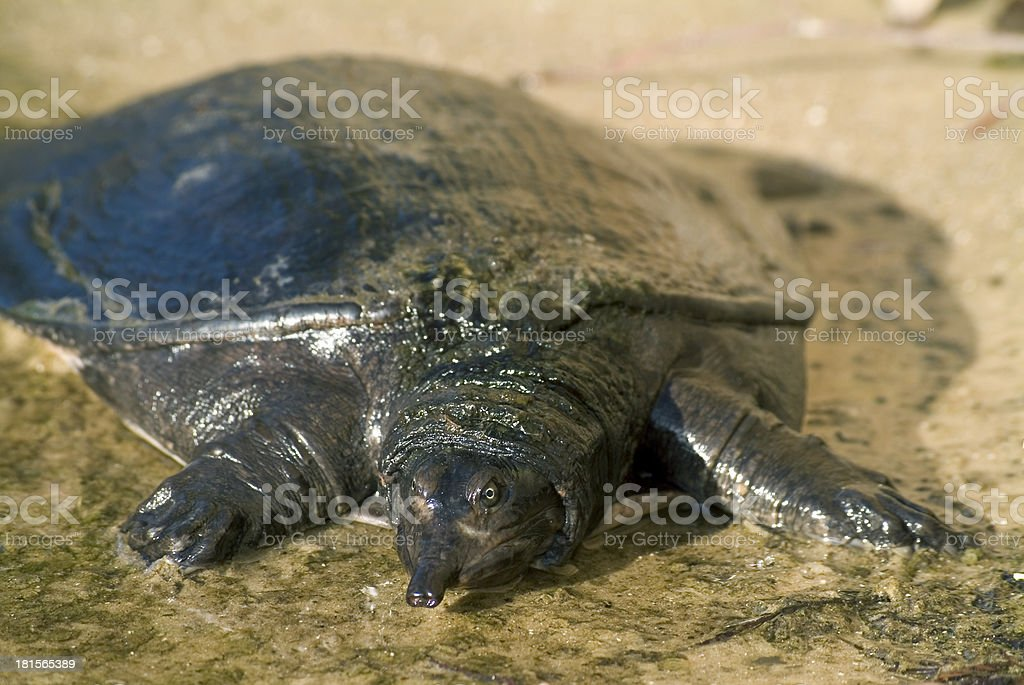 Softshell turtle 01 royalty-free stock photo