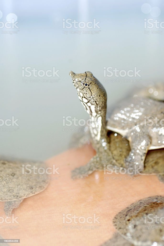 soft-shelled turtle?Trionyx sinensis stock photo