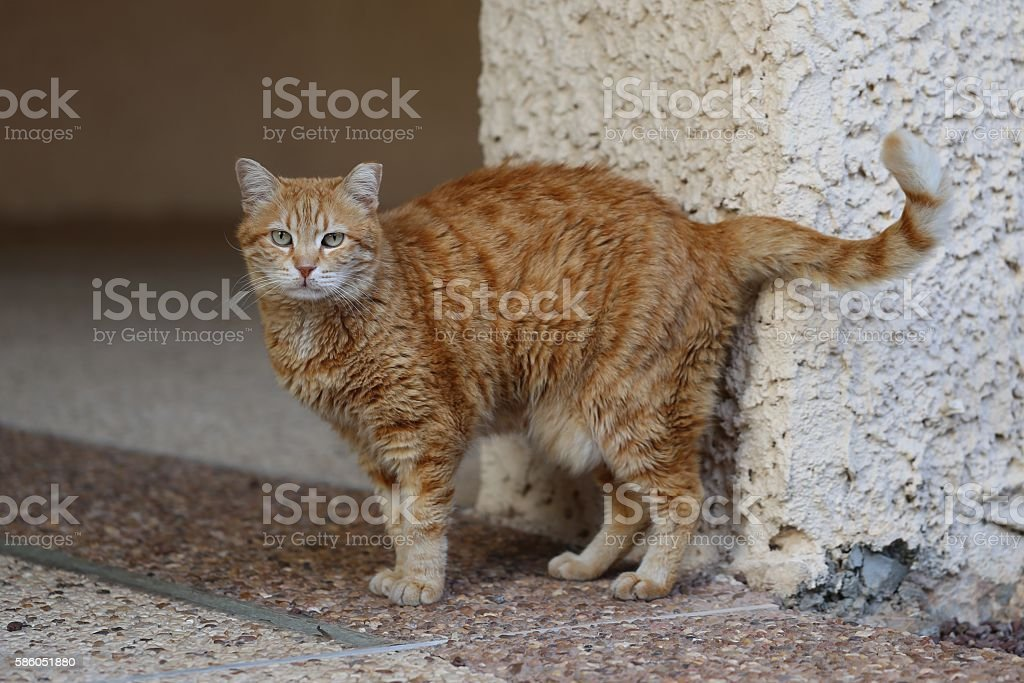 Soigne Cat Looking at the Camera. stock photo