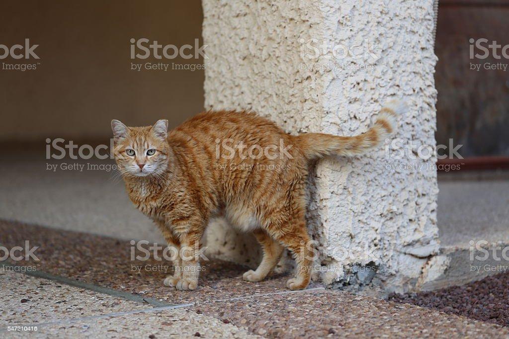 Soigne Ginger Cat stock photo