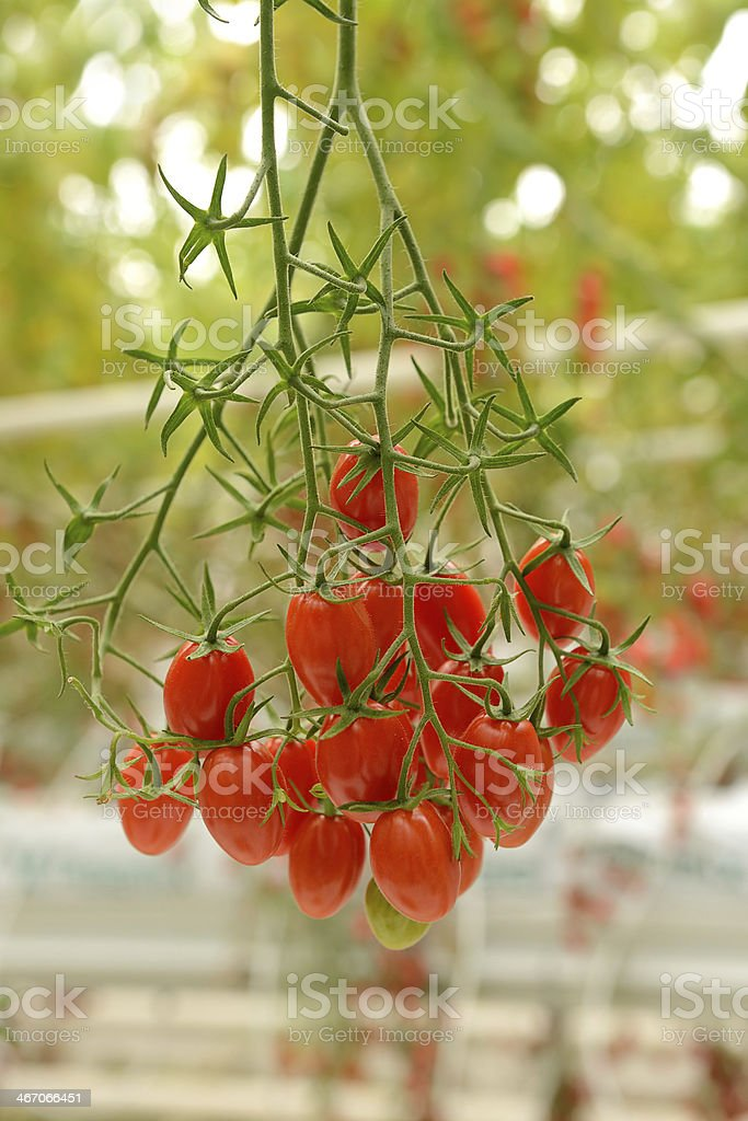 Soilless agriculture plum tomatoes stock photo