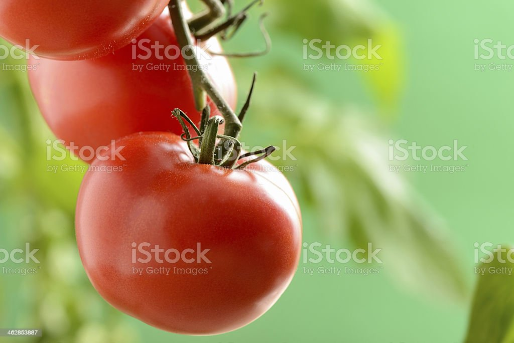 Soilless agriculture tomatoes stock photo