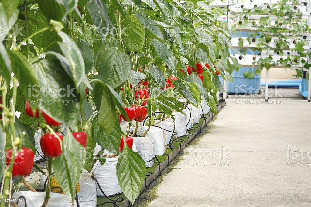 Soilless bell pepper culture stock photo
