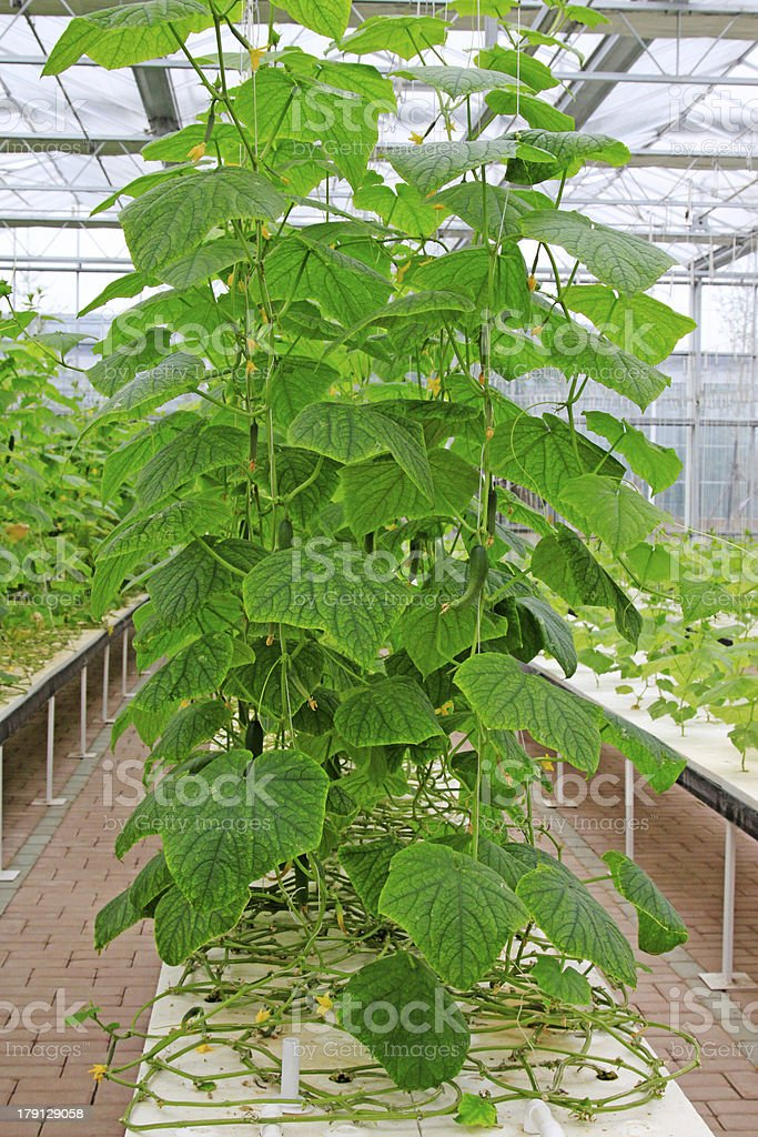 soilless cultivation seedlings royalty-free stock photo