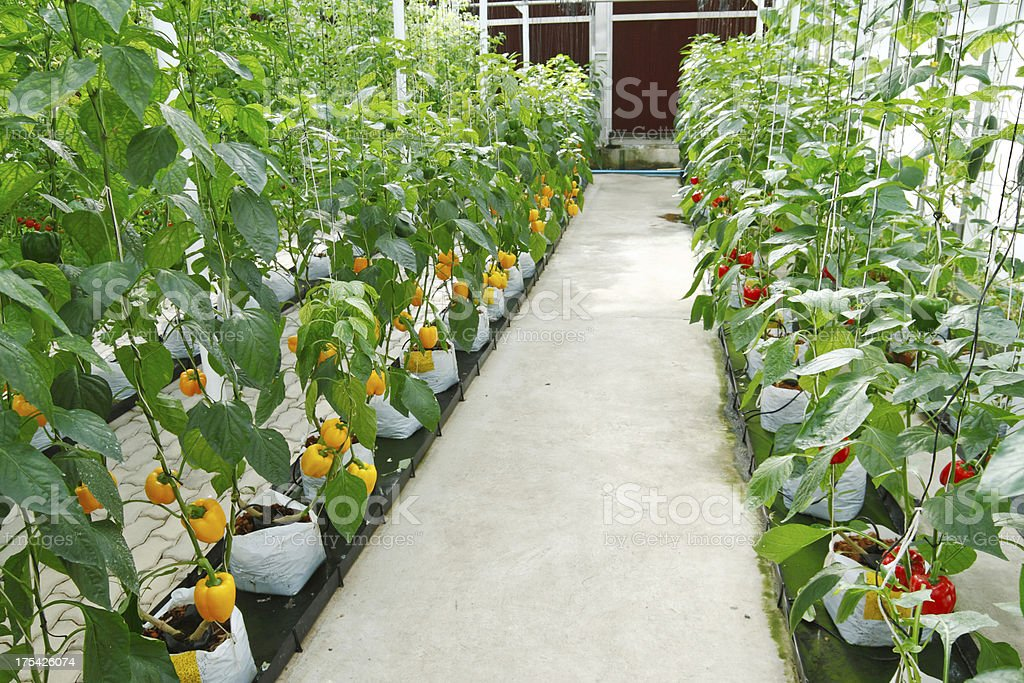 soilless greenhouse royalty-free stock photo