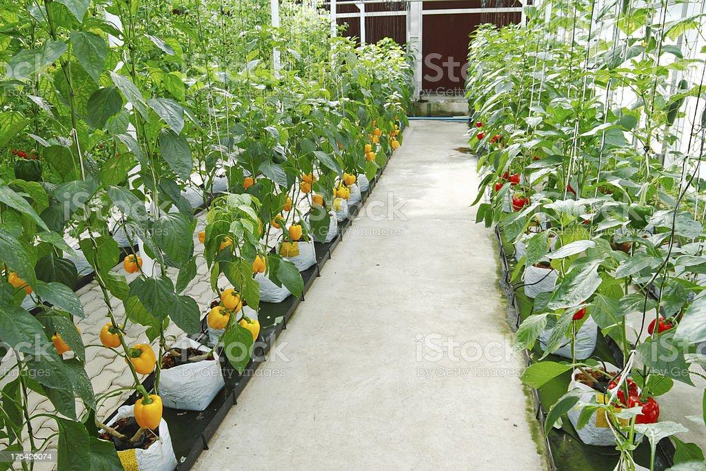 soilless greenhouse stock photo