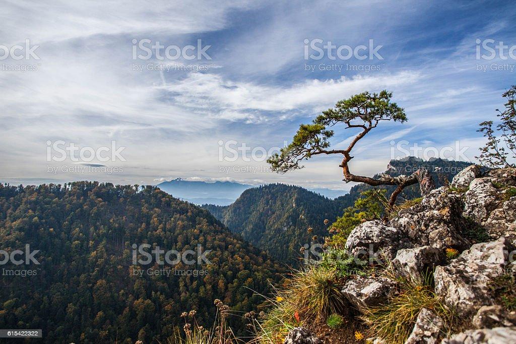 Sokolica - 500 year old pine dwarf. stock photo