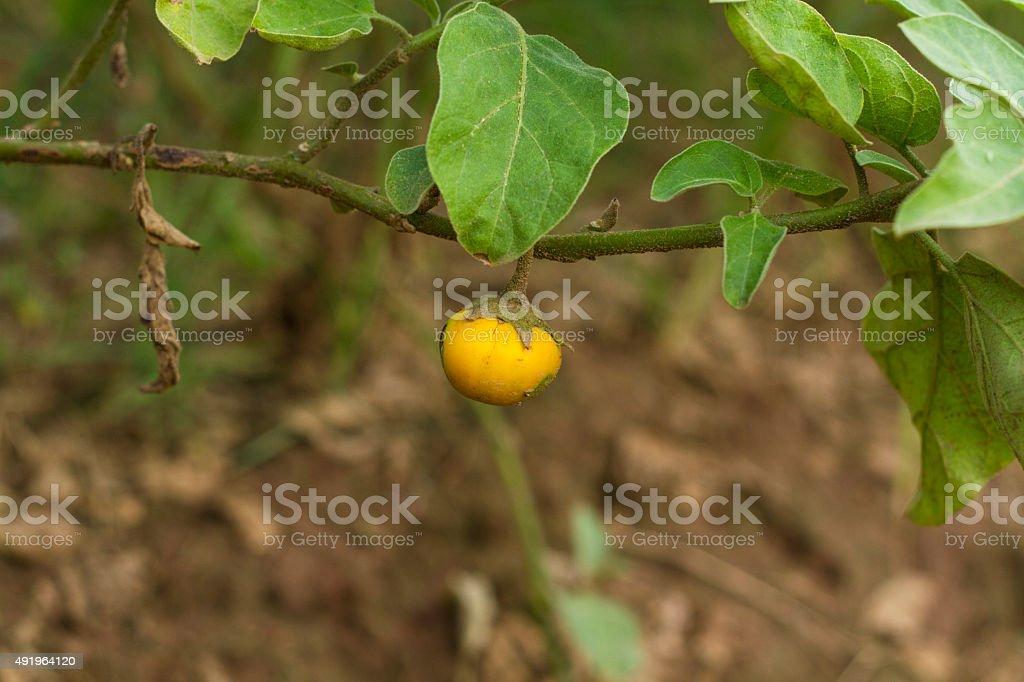 Solanum macrocarpon fruit stock photo