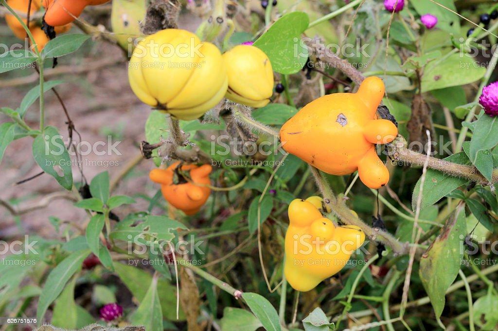 Solanum mammosum on plant stock photo