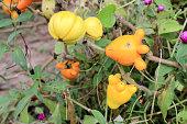 Solanum mammosum on plant