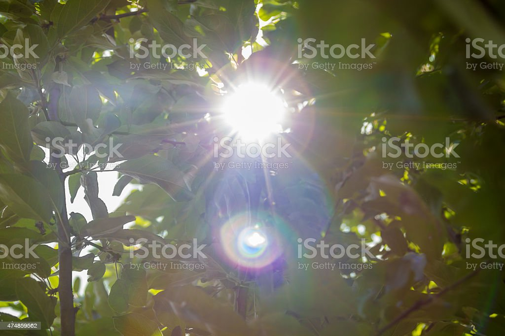 solar lens flare through foliage stock photo