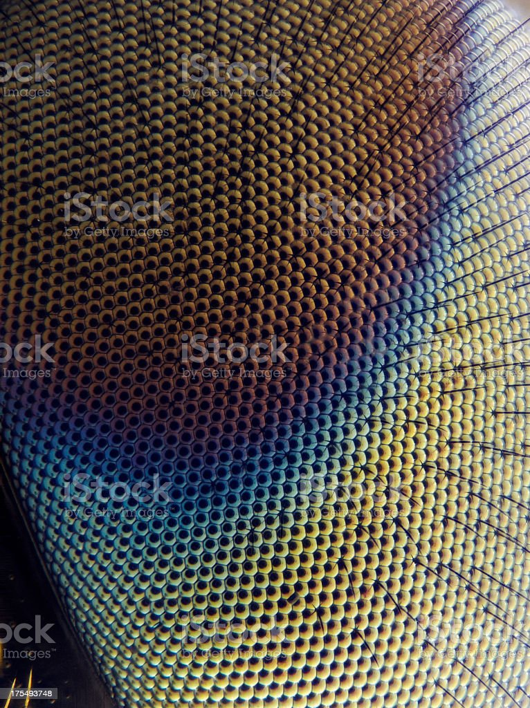 Soldier Fly (Stratiomyidae) stock photo