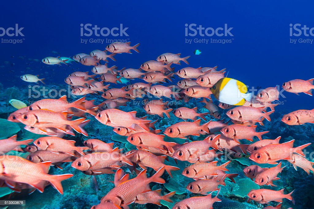 Soldierfish - Palau, Micronesia stock photo
