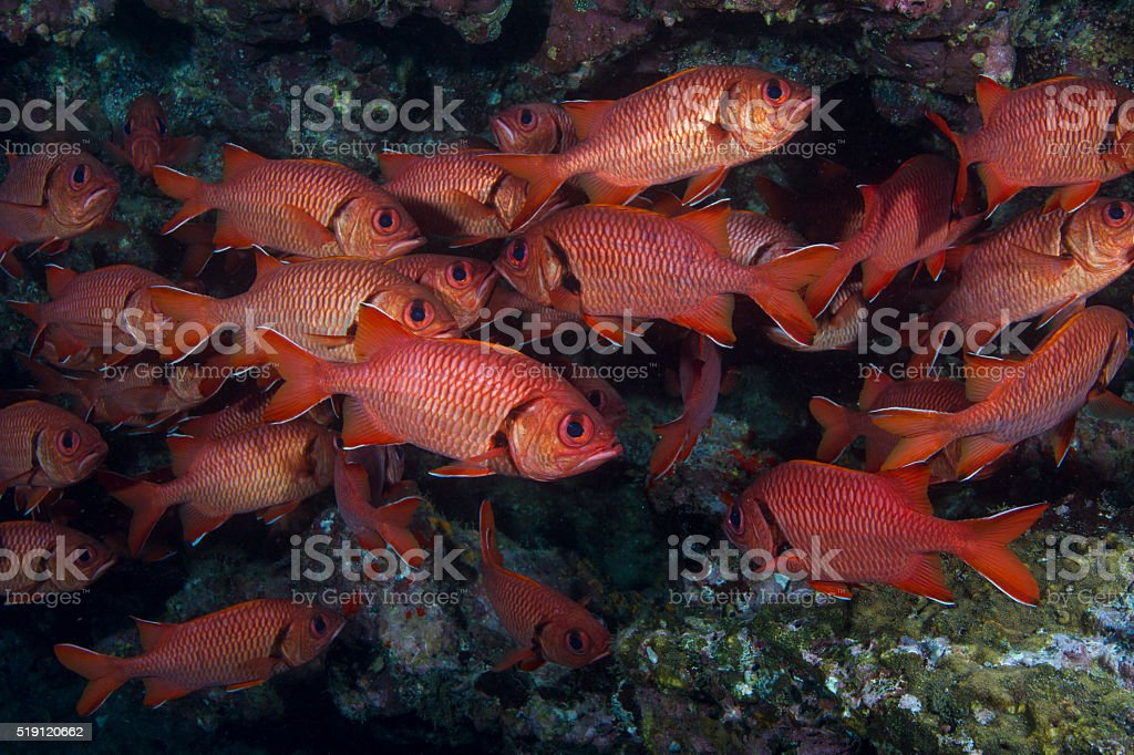Soldierfish under ledge stock photo