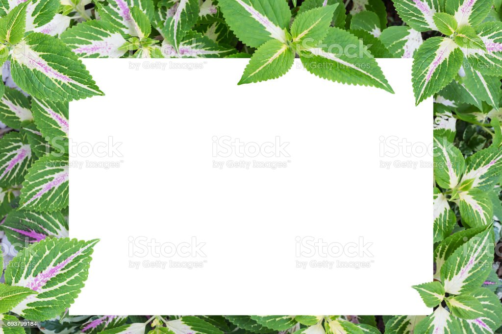 Solenostemon scutellarioides, Painted nettle or  Flame nettle stock photo