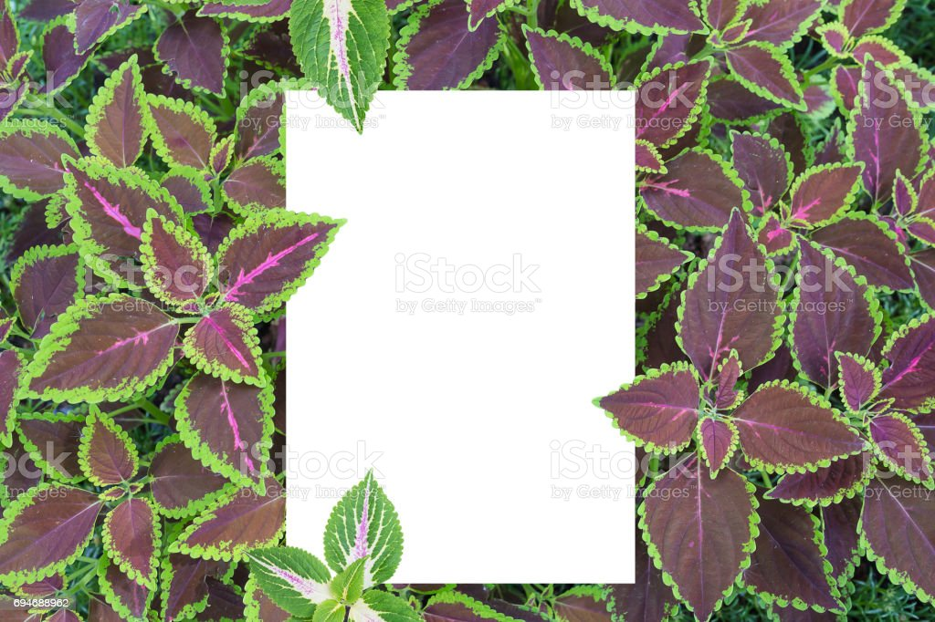 Solenostemon scutellarioides, Painted nettle or  Flame nettle with white rectangle paper stock photo