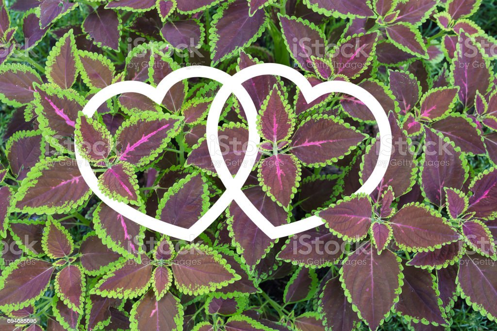 Solenostemon scutellarioides, Painted nettle or  Flame nettle with two heart shape frames stock photo