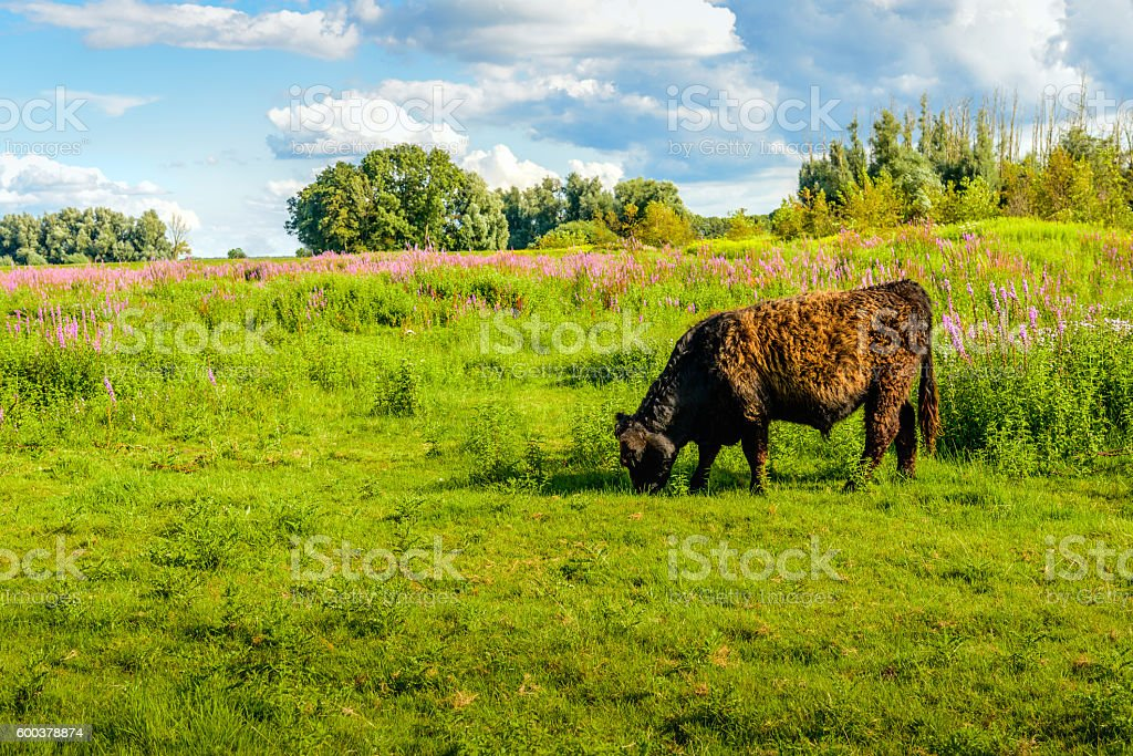 Solid brown Galloway bull quietly grazing stock photo