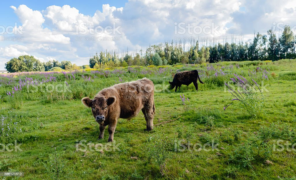 Solid brown Galloway bull watches the photographer stock photo