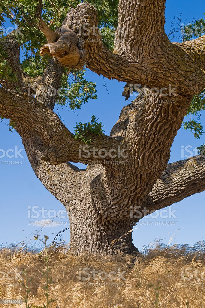 Solid Oak stock photo