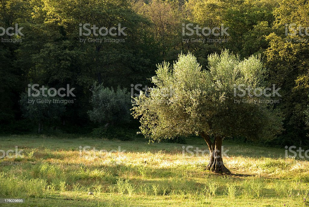 Solitaire olive tree royalty-free stock photo