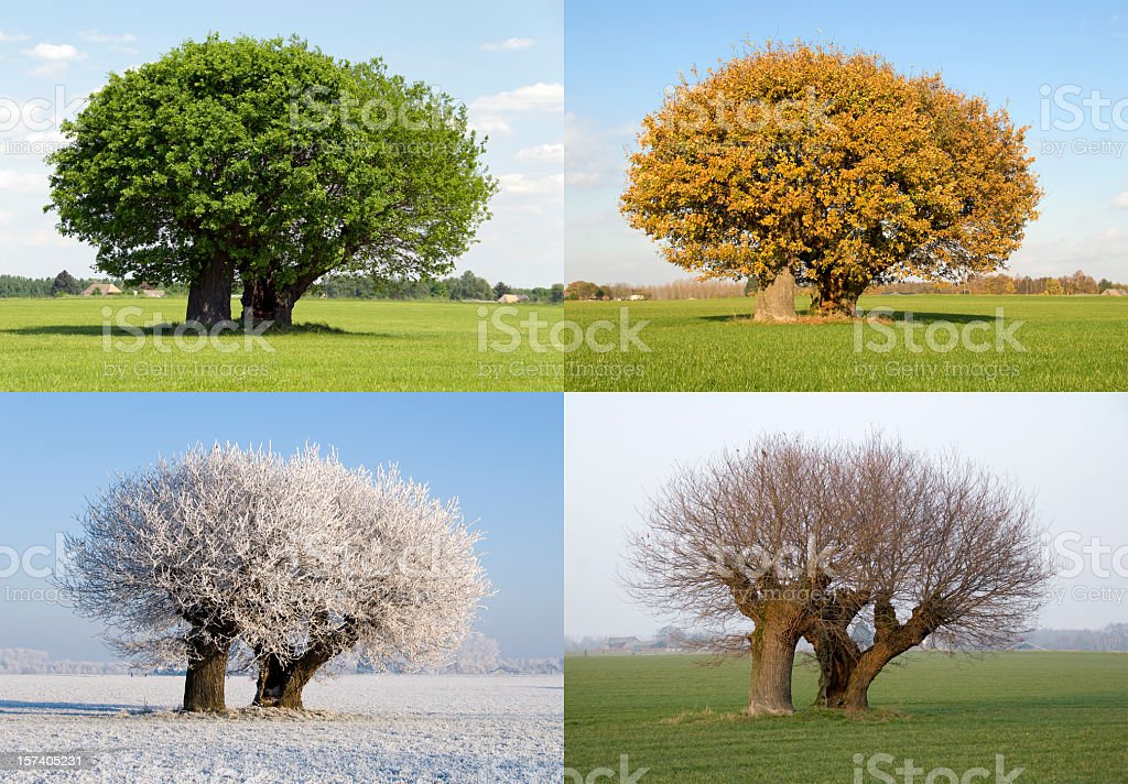 Solitaire tree in four different seasons stock photo