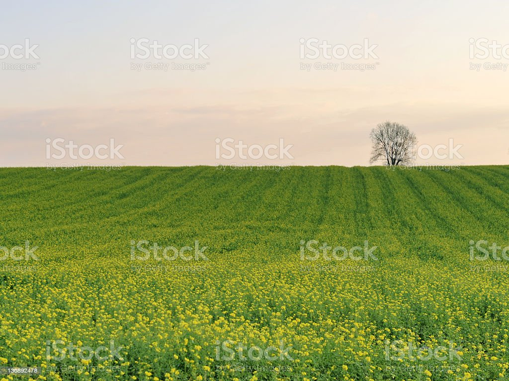 Solitaire tree in oilseed rape field royalty-free stock photo