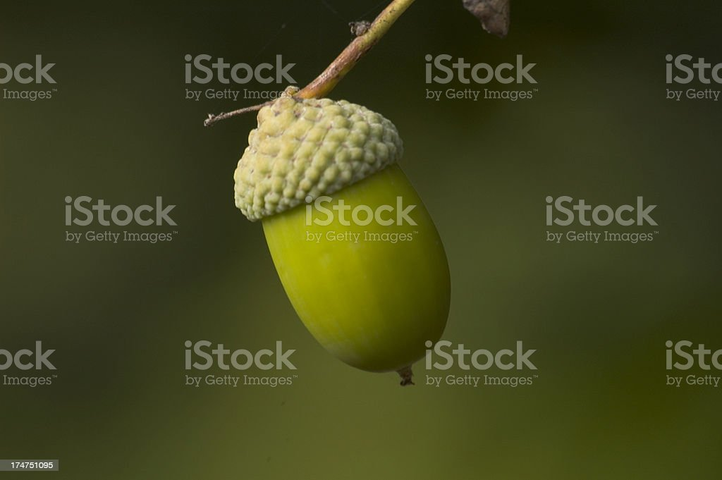 Solitary Acorn stock photo
