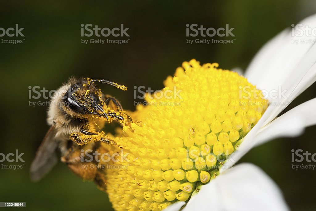 Solitary Bee Collecting Pollen royalty-free stock photo