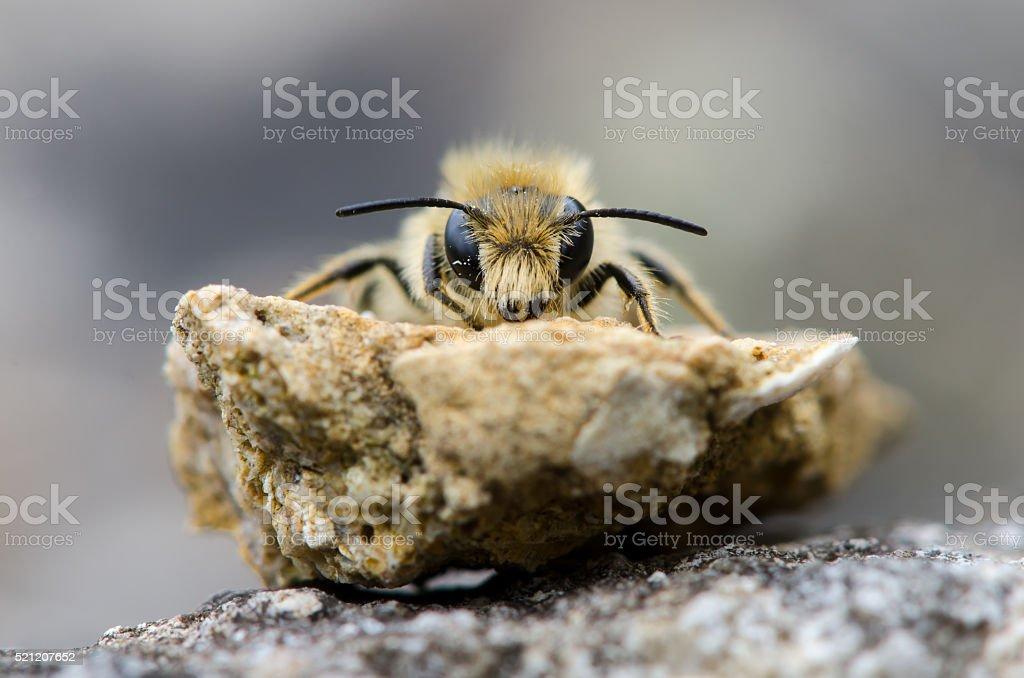 Solitary bee head on stock photo