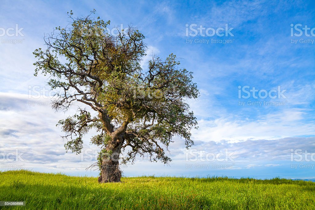 Solitary Coast Live-Oak Tree, Los Padres National Forest, California royalty-free stock photo