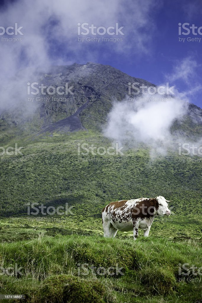 Solitary Cow stock photo