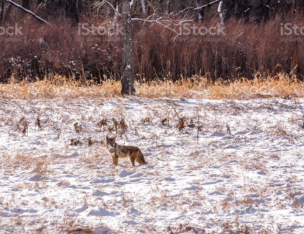 Solitary Coyote in Snowy Field stock photo