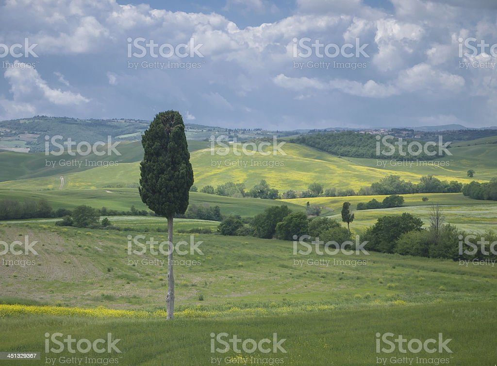 Solitary cypress tree in Tuscan landscape royalty-free stock photo